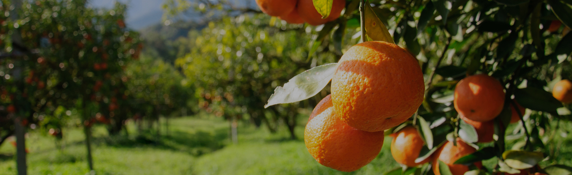Combat Greening (HLB) in Your Citrus Fields